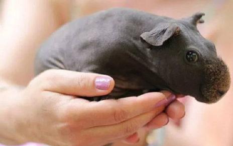 Tidak Punya Bulu, Jenis Guinea Pig Ini Terlihat seperti Bayi Kuda Nil